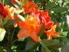 Rh. molle `Glowing Embers`
